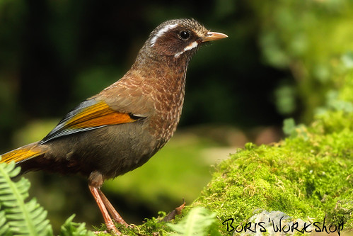 White-whiskered Laughingthrush II