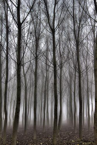 trees nature misty fog alberi landscapes day atmosphere natura campagna nebbia paesaggi atmosfera lombardia pioppi pianura pavia pavese padana mat56 chignolopo