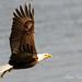 Fresh Catch - Bald Eagle In Flight - Conowingo Dam, Maryland by Mitch Vanbeekum Photography