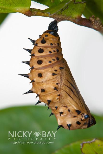 Pupa of Malayan Eggfly (Hypolimnas anomala anomala) - DSC_4003