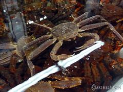 crab, animal, crustacean, marine biology, invertebrate, dungeness crab,