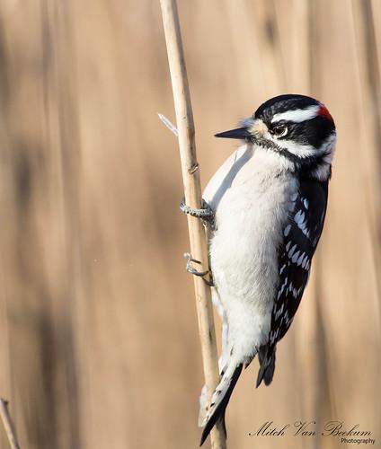 woodpecker downywoodpecker downy thewonderfulworldofbirds