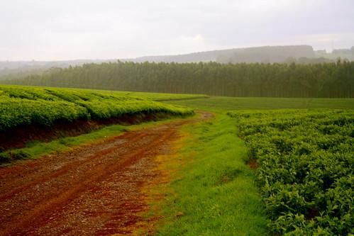africa tea kenya teaplantation riftvalley kericho africahighlands