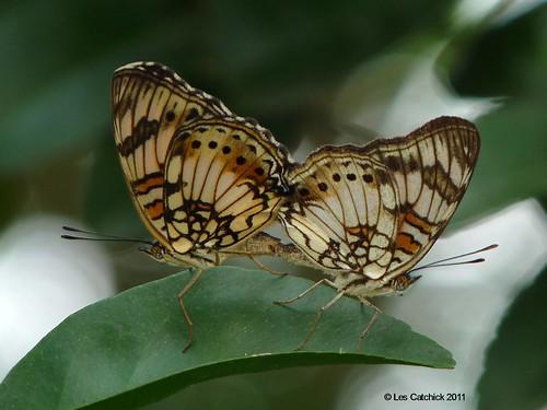 butterfly ghana wli wlifalls lpjc junoniasophia littlecommodore