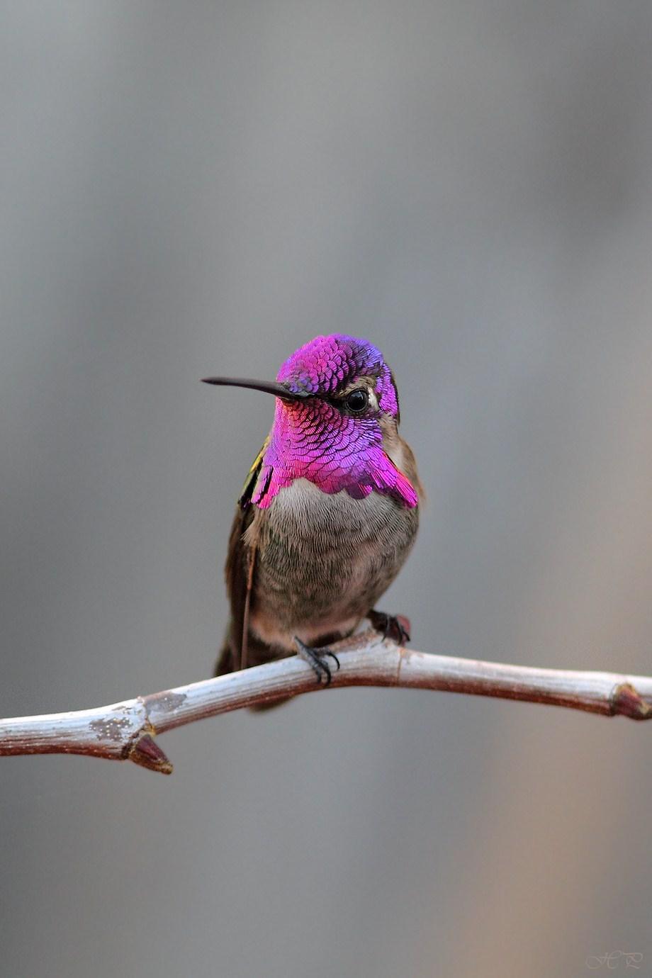 Costa's X Anna's Hummingbird 112912-2