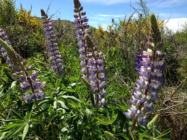 alpine lupine in bloom