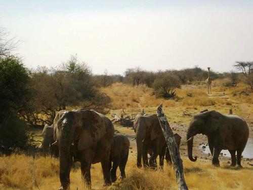 Elephants Etosha NP