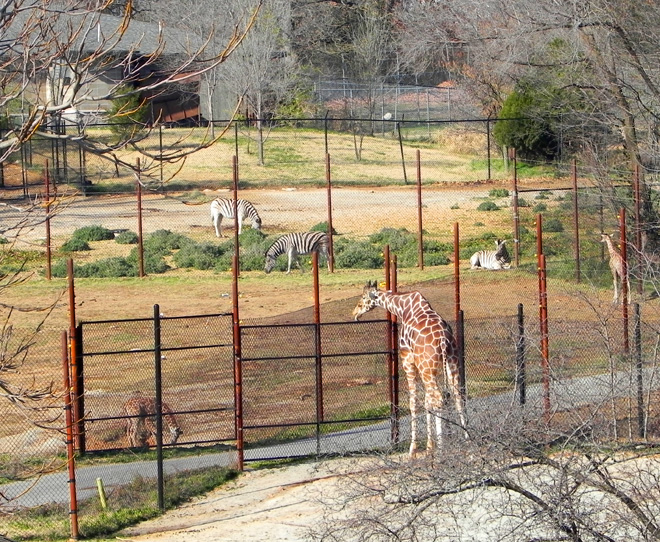 11-30-2012— View of the Giraffe and Zebra enclosures