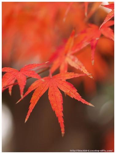 Red Leaves on Tsushima Srine #02