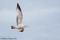 Ring-billed Gull (first year)