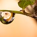 Small photo of Raindrop on Ficus