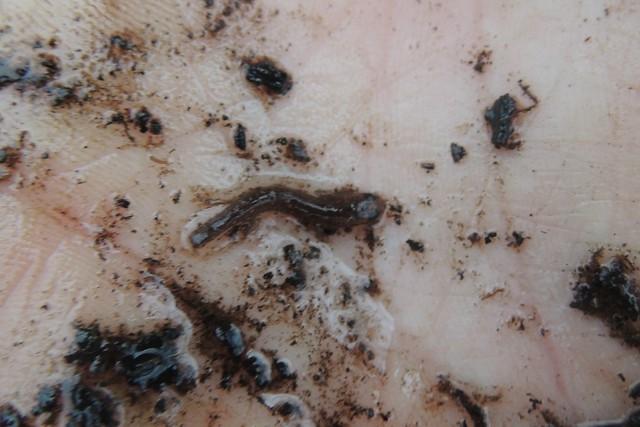 2-Lined Larvae