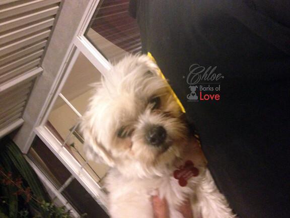 CHLOE   Shih-Tzu/Yorkie Mix   AVAILABLE!   Flickr - Photo Sharing!