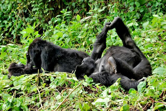 Gorilas de montaña en el Parque Nacional de los Volcanes. Ruanda.