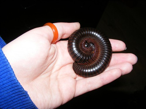Julius, our African Giant Millipede <img src=