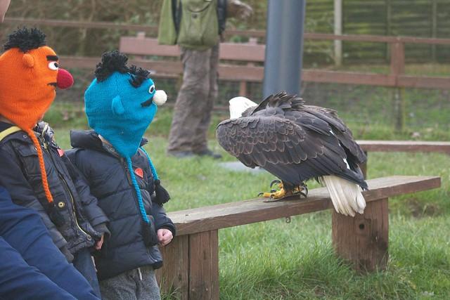 DSC_5393 Bald Eagle