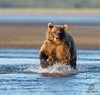 Brown Bear Closes the Gap by Glatz Nature Photography
