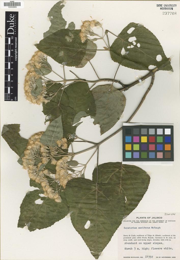 Asteraceae_Eupatorium ceriferum