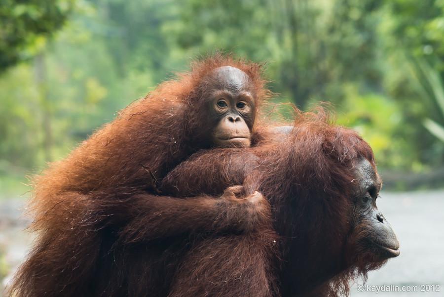 orangutan female with baby