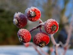Frostfrüchte