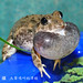 柯丁誌_大聲鳴叫的澤蛙