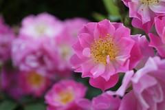 Rose,Watermelon Ice,バラ,ウォーターメロン アイス,