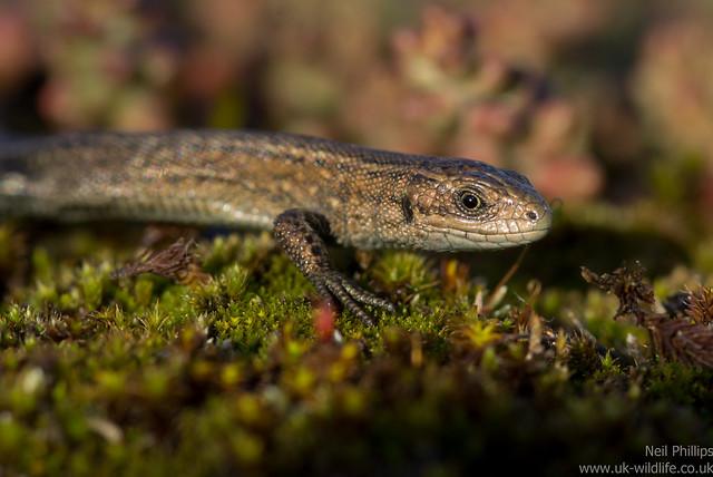 common lizard juvenile Zooteca vivipara 4