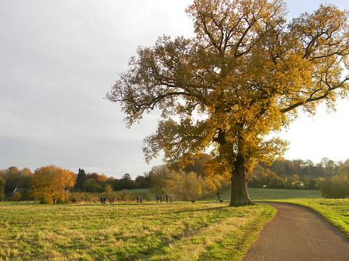 Stately tree near Hambleden