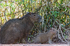 [Free Images] Animals 1, Mammals, Capybaras, Animals - Parent and Child ID:201211161000