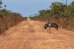 emu, soil, ostrich, flightless bird, fauna, safari, bird, ratite, wildlife,