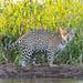 The jaguaress in the evening sun