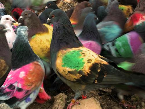 """Suelta y Hembreo de las """"palomas"""" pintadas"""