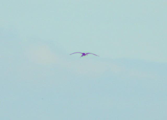 White Ibis (imm)