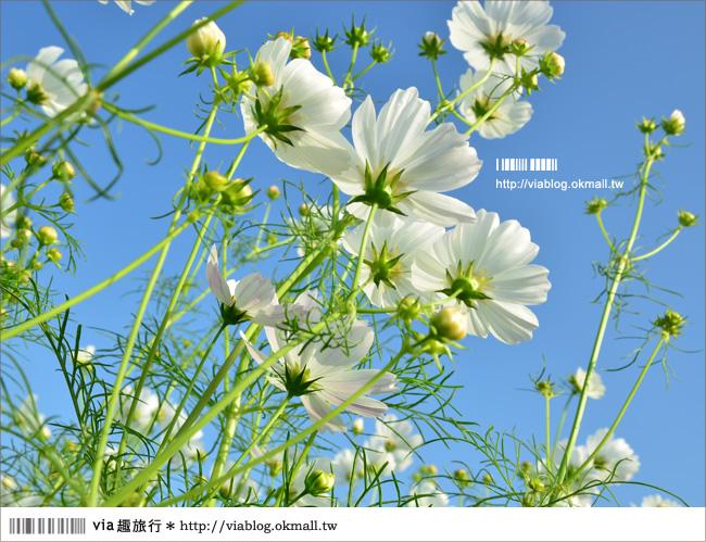 【2012橋頭花海】高雄橋頭花田囍事~走!往南國賞花去~
