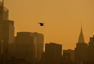 NYC - Sunset Gull
