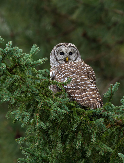 Barred Owl Spruced Up