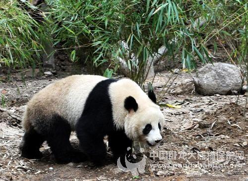 陝西省珍稀野生動物搶救飼養研究中心設立的秦嶺大熊貓野化培訓基地,圖片來源:中國臥龍大熊貓保護網