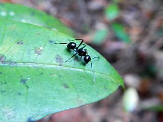 Black Ant, Dubuji Boardwalk