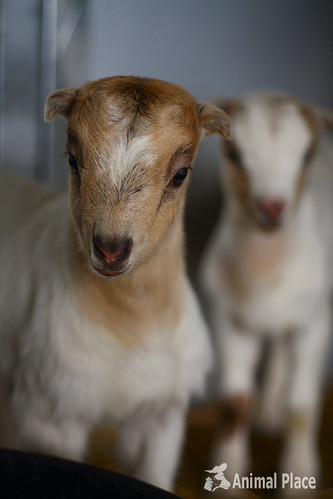 Rescued Goat Gives Birth