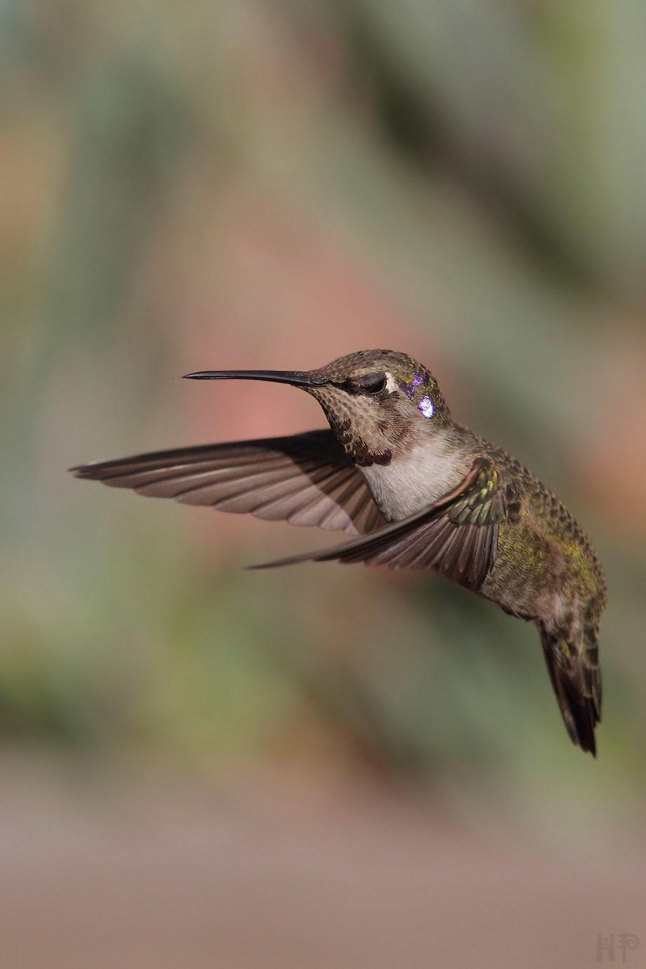Costa's X Anna's Hummingbird 112212-3