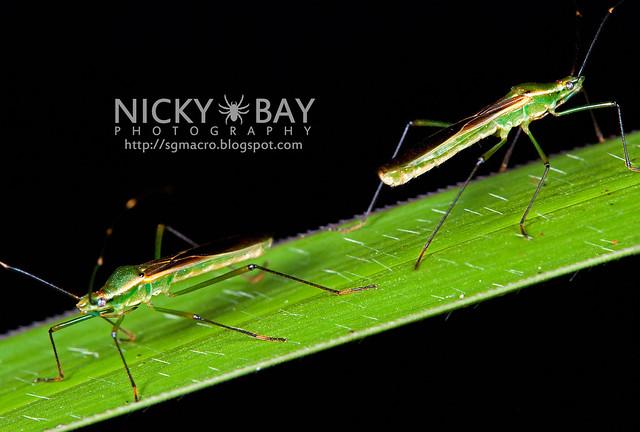 Squash Bugs? (Coreidae) - DSC_4779
