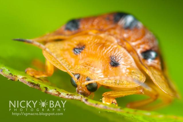 Tortoise Beetle (Hispinae) - DSC_4976