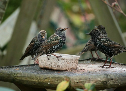Starlings arguing over a seed cake