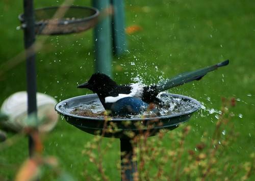 Magpie taking a bath