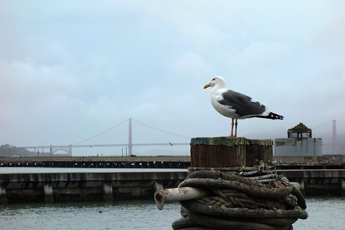 Seagull at golden gate bridge