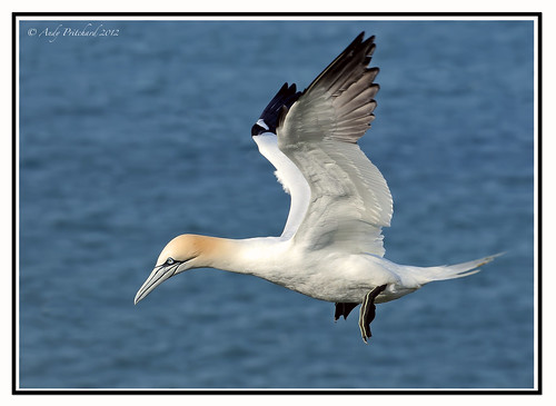 Gannet by Andy Pritchard - Barrowford