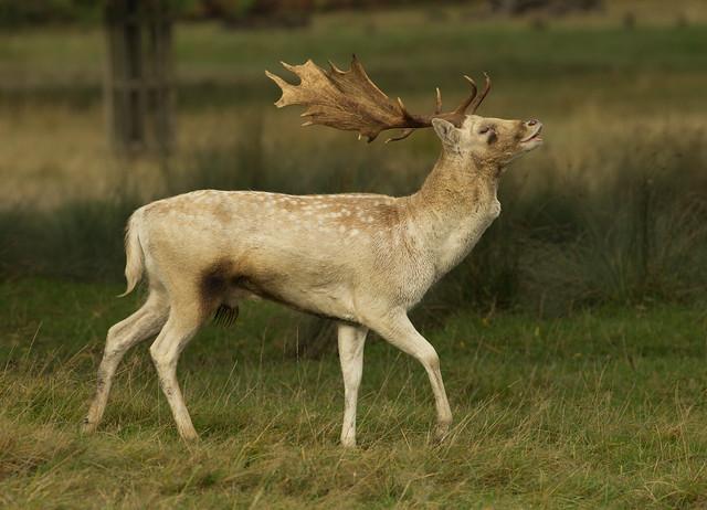 fallow deer buck calling 4