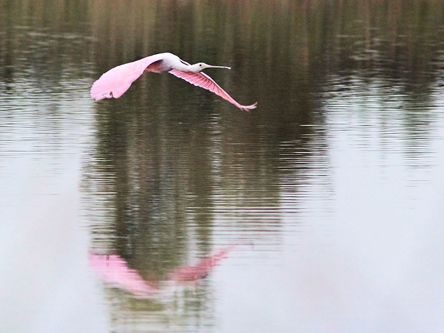 Roseate Spoonbill in flight 20121205
