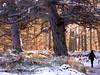 Caledonian pinewood