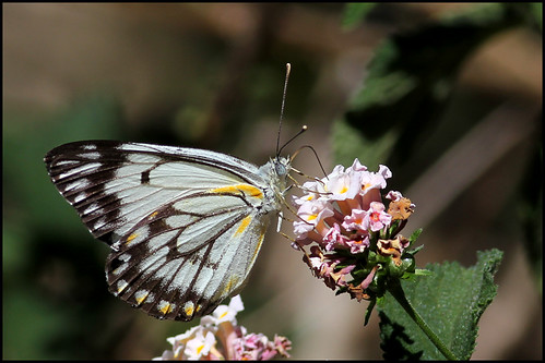 Caper White (Belenois java)